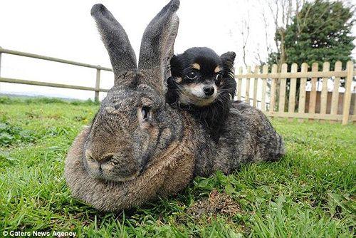 Представляем Вам Гигантского кролика Дария, этот самый гигантский кролик из всех самых гигантских кроликов в мире встречает уже третью Пасху в своей жизни. Дарий - так звать этого грызунообразного, принадлежит к породе гигантских континентальных кроликов и весит три с половиной стоуна (22 килограмма), а длиной 4 фута и 4 дюйма (130 см).