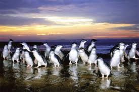 phillip island penguins - Google Search