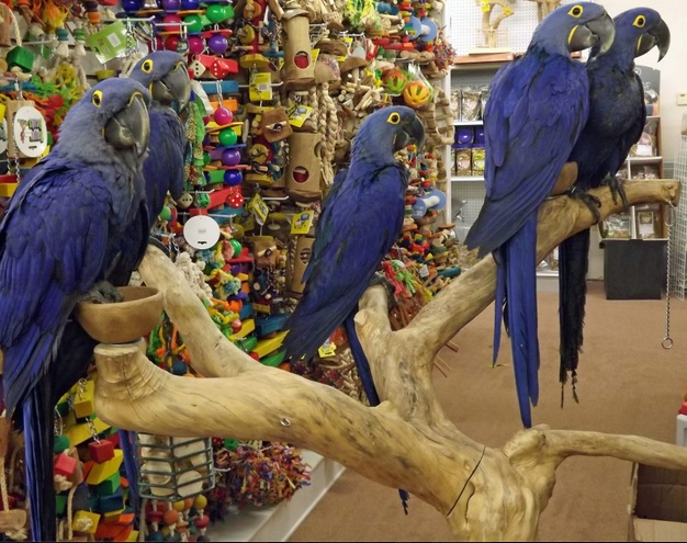 Jacintos en Java Tree.  Via M & D Bird Farm, Exotic Birds and Supplies
