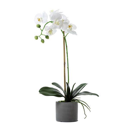 Butterfly Orchid In Pot 1 Stem