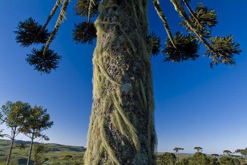araucaria angustifolia - Pesquisa Google