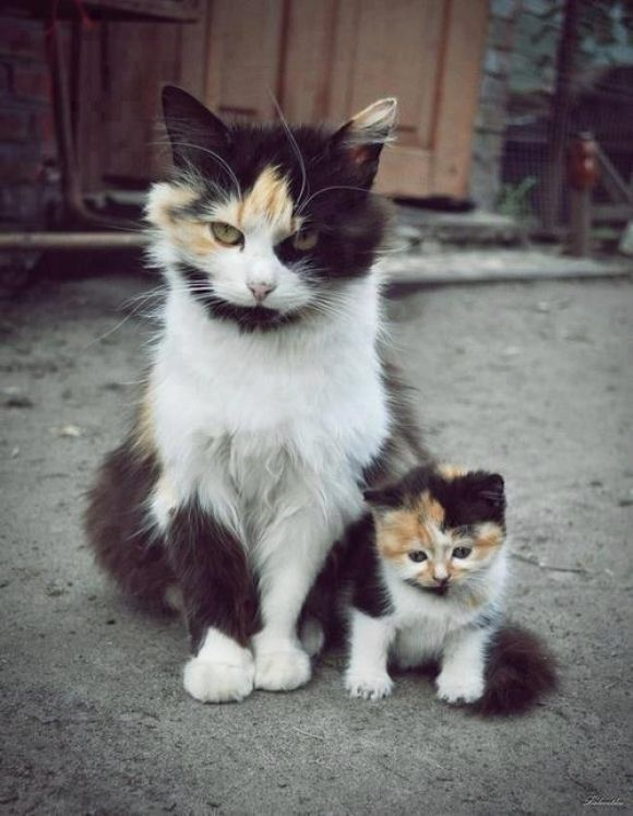 Mothers, Kids, Kittens, Families, Kitty, Baby Cat, Minis Me, Animal, Calico Cat