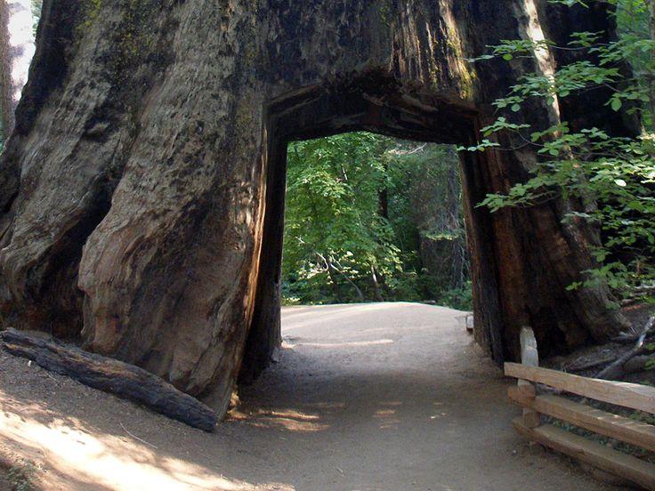 Hollow sequoia tree - the Dead Giant, Tuolumne Grove, Yosemite National Park