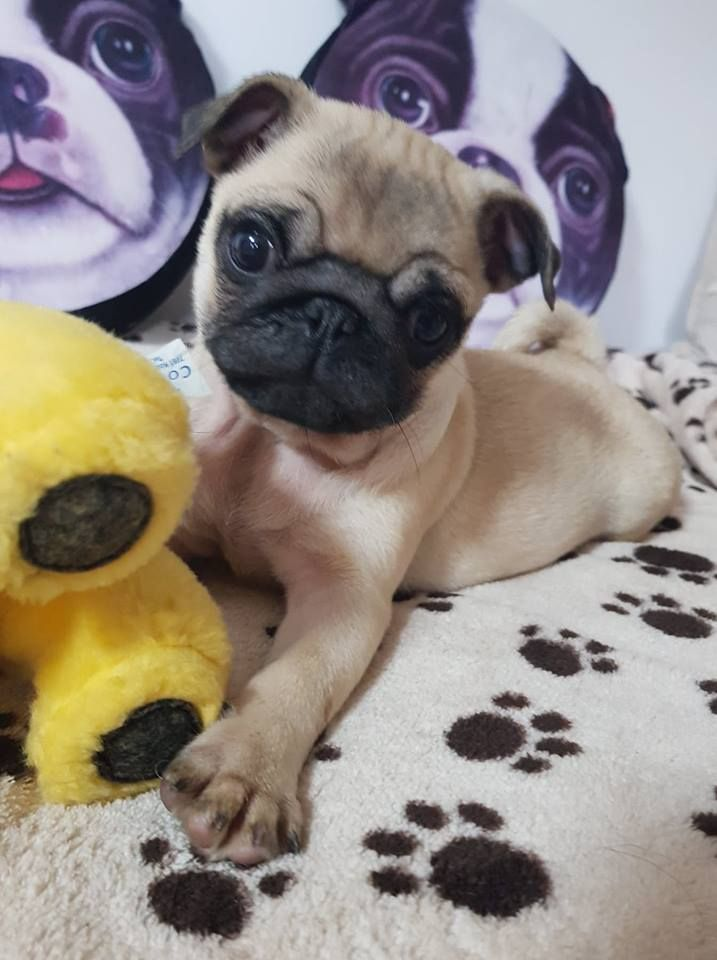Pug Puppy For Sale Pug Puppies For Sale Puppies Puppies For Sale