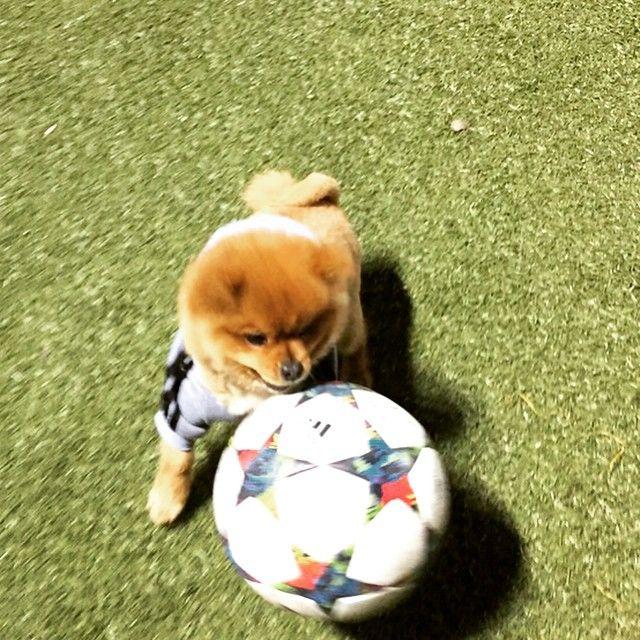 "I ran the field tonight <span class=""emoji emoji26bd""></span>️<span class=""emoji emoji26bd""></span>️ #Soccer #Dogs #dogsofinstagramworld #DogsofInstagram #cute #Futbol ..."