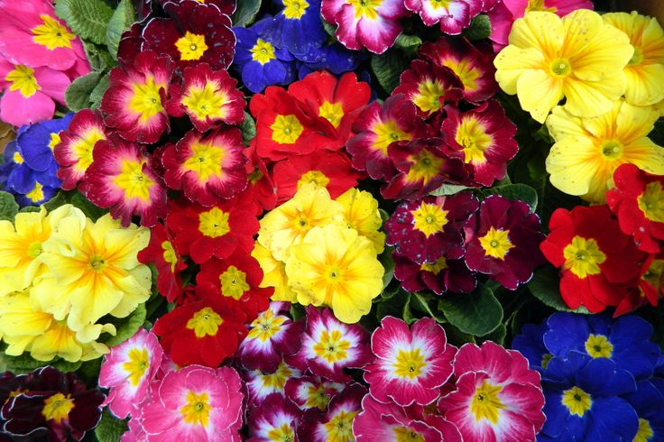 Primrose puzzle in Flowers jigsaw puzzles on TheJigsawPuzzles.com. Play full screen, enjoy Puzzle of the Day and thousands more.