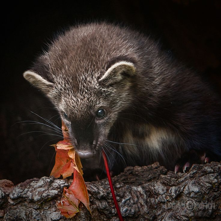 Fisher (Martes pennanti / Pekania pennanti). Photo by Lou Ann Goodrich (at http://louanngoodrich.zenfolio.com/p268052668/h29e9dd12#h3932f452).