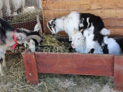 Goat with two cubs eating hay.