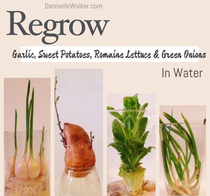 Best 25 Regrow Romaine Lettuce Ideas On Pinterest: 1000+ Ideas About Regrow Romaine Lettuce On Pinterest