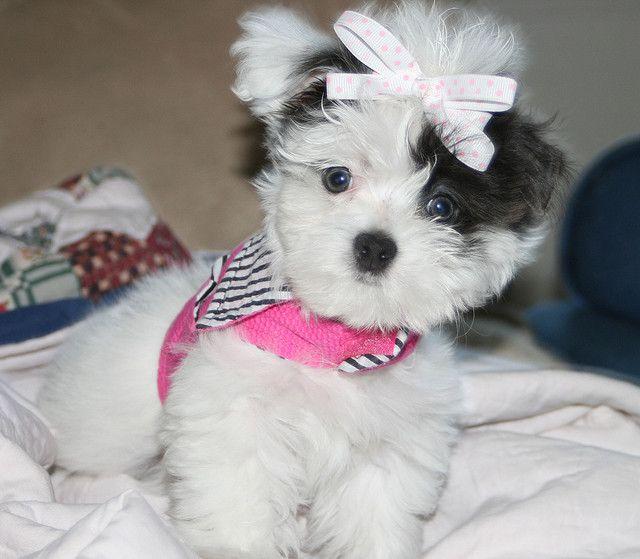 View Ad: Maltipoo Puppy for Sale near Texas, HILLSBORO ...