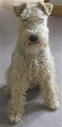 A wavy-coated tan Lakeland Terrier is sitting on a tan carpet and looking forward.
