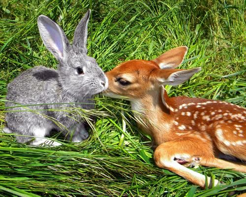 A real-life Bambi and Thumper!: Rabbit, Animal Friendship, Fawns, Real Life, Bambi, Bunnies, Thumper, Ben Harpers, Deer