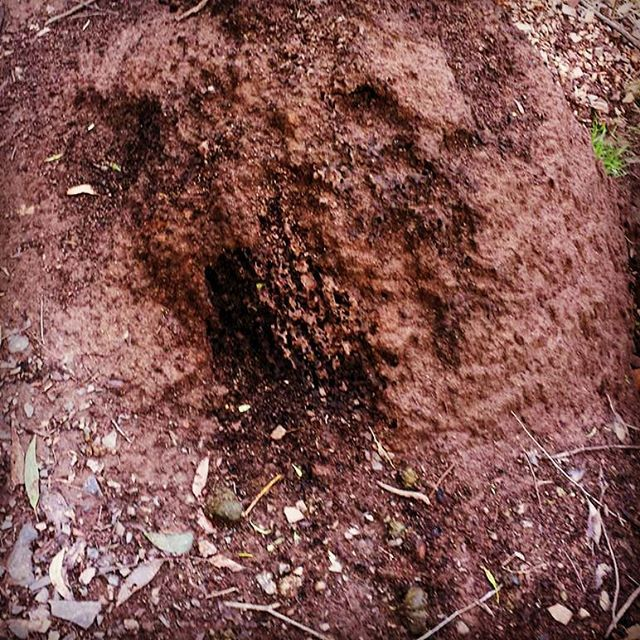 Dug termite mound. What's unusual about this commonplace scene? #tracking…