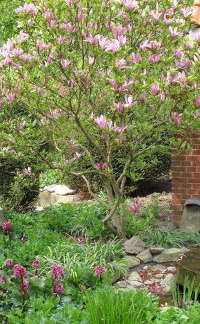 Kurz vor dem Laubaustrieb erscheinen die tulpenförmigen, rosa-weißen Blüten der Tulpenmagnolie (Magnolia soulangiana). Das Gehölz wächst als Großstrauch oder kleiner, kurzstämmiger Baum (vier bis acht Meter hoch und breit). Ideal ist ein sonniger bis absonniger Standort und nahrhafter, humoser, genügend feuchter und lockerer, durchlässiger Gartenboden.