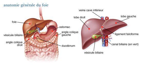 Figure 25 : Anatomie générale du foie                                                                                                                                                     Plus