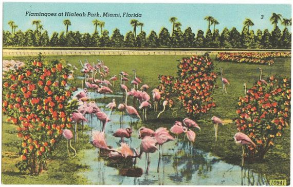 Vintage Florida Postcard  Flamingos at Hialeah Park by VintagePlum