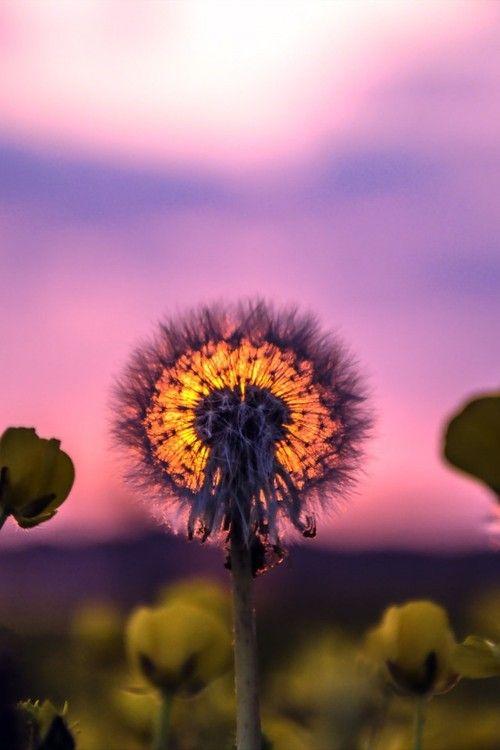 nature sunset grass dandelion - photo #32