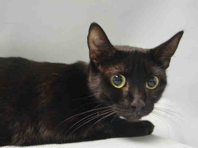 """POOPSIE - A1053122 - - Brooklyn  ***TO BE DESTROYED 05/15/17**RETURN** Owner eviction landed Poopsie in the shelter – this cutie needs a furever home! She is nervous and wondering what happened. But has glowing volunteer notes from last stay,  A volunteer writes, """" I'm Poopsie, don't know where a girl from the street got a name like that, but that's my name. Just give me a minute and I'll warm up to you. Pet my head, I'll roll on my side, boy do I enjo"""