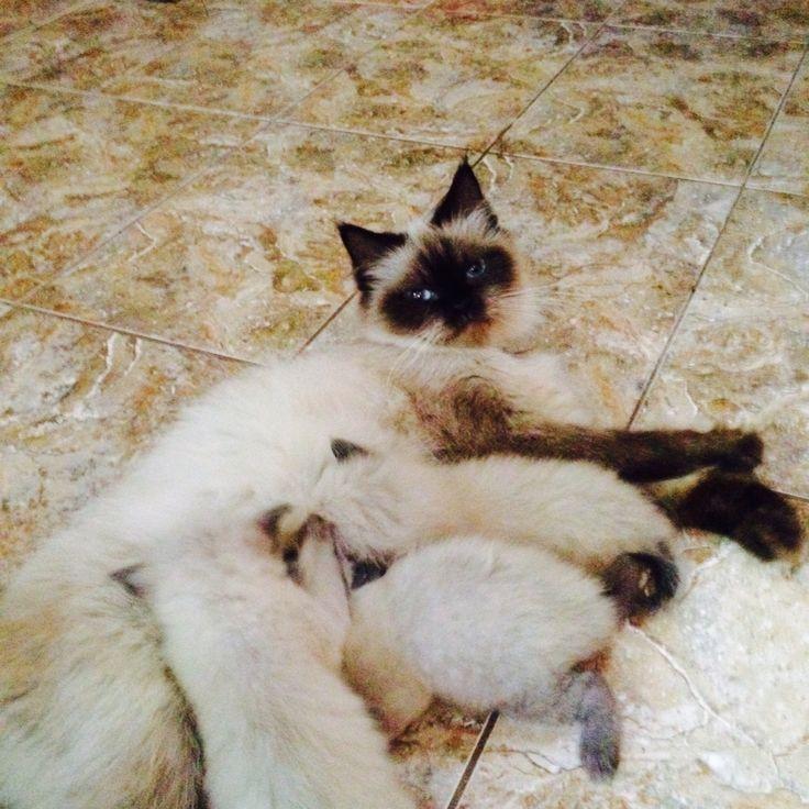 #himalaya #thecat #cat #pet #kitten #mommy