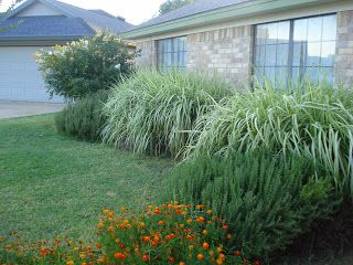 Crape myrtle in the back with 39 cabaret 39 miscanthus grass for Front yard ornamental grasses