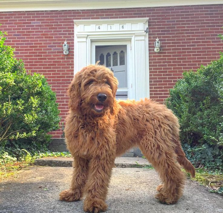 F1 Medium Goldendoodle
