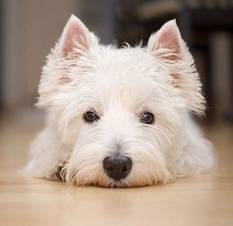 Cute West Highland Terrier Dog #Terriers