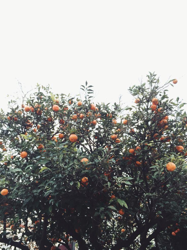 Orange trees in Chania, Greece