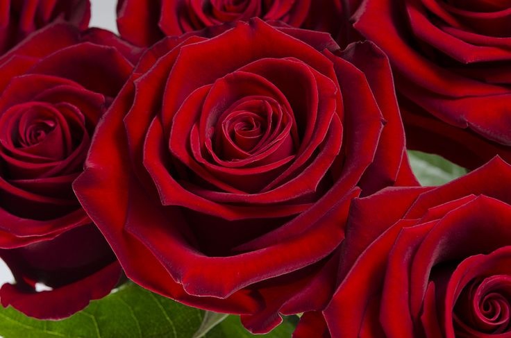 Cherry Love is a bright red rose with a high petal count. What sweeter way to express your love than to give Cherry Love? #Royal #Roses