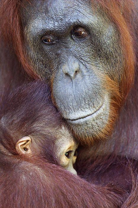 Female Bornean Orangutan n her baby (Pongo pygmaeus wurmbii) in Camp Leakey, Tanjung Puting National Park, Central Kalimantan, Borneo_ Indonesia: