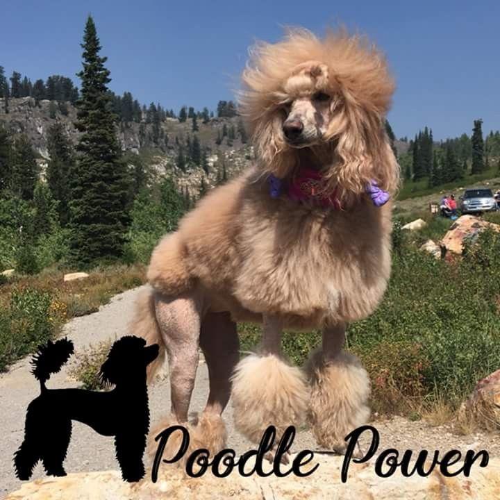 Sonakih Standard Poodles Poodle Dog Love Dogs