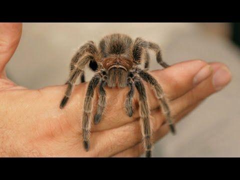 from Xol :),6 Rose Hair Tarantula Facts & Care Tips   Pet Tarantulas
