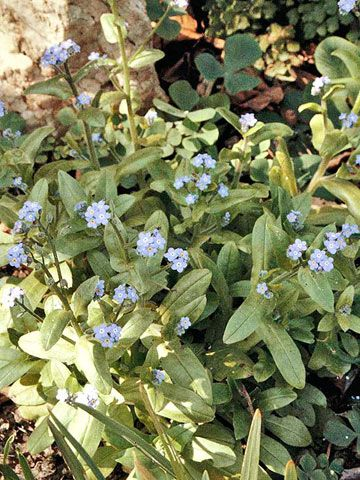 I'm so excited to have these pretty blue flowers in my garden! I chose them because they are perennials that will grow and self sow. Very low maintenance once you get them started :)