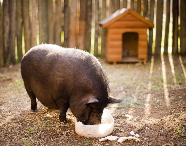 Rosie the pig eating her breakfast at Intundla Lodge in South Africa.  She was a pet.  Just had to throw that out there...