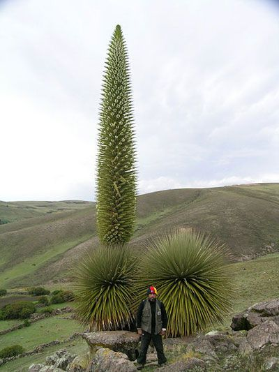 Biggest Bromeliad,  Puya raimondii in Peru. Photo by: Pepe Roque.
