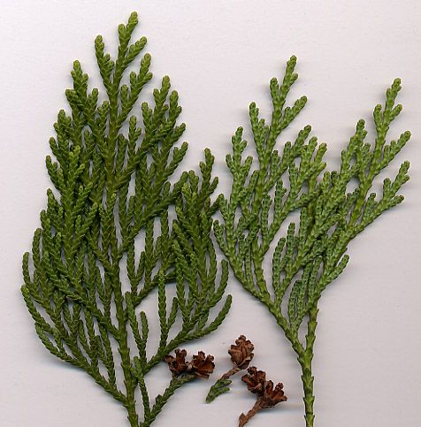 Needles from white cedars are rich in Vitamin C. Chewing on cedar buds can relieve a sore throat. Members of the Canadian First Nations will make a strong tea from cedar boughs to drink over the winter months.