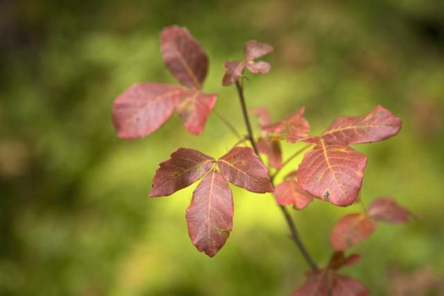 How do you get rid of poison oak plants? You can kill them with the herbicides…