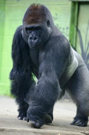 San Diego, CA: This gorilla would come up to the glass and stare straight into your eyes. Incredible experience