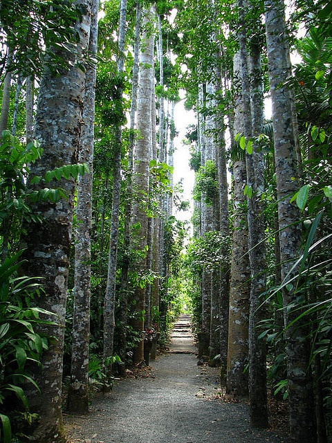 Agathis robusta at Paronella Park, North Queensland............................ by tanetahi, via Flickr