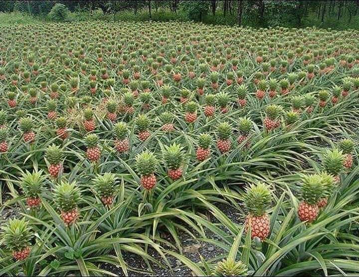 Pinapple farm