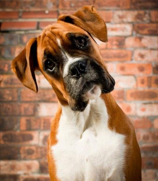 In Caribbean Paradise (first Island Legacy Novel), the Andersons have a boxer named Greta. This is what she looks like. For more info, contact me at www.terimetts.com, and ck under Novels.
