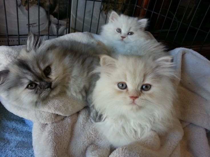 You can buy love! 3 month old Persian kittens. 2 Boys and