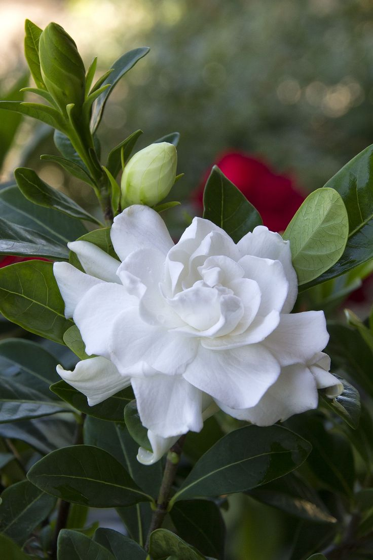 Gardenia - An evergreen with a beautiful scented white flower.  Per pinner:  I've struggled with these as an inside plant in England but just put two in the garden can already see buds appearing.