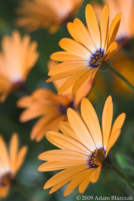 'Orange Symphony' Osteospermum