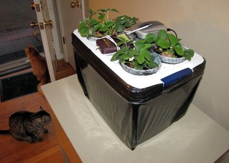 Hydroponic strawberries sweeten up winter dolldrums!