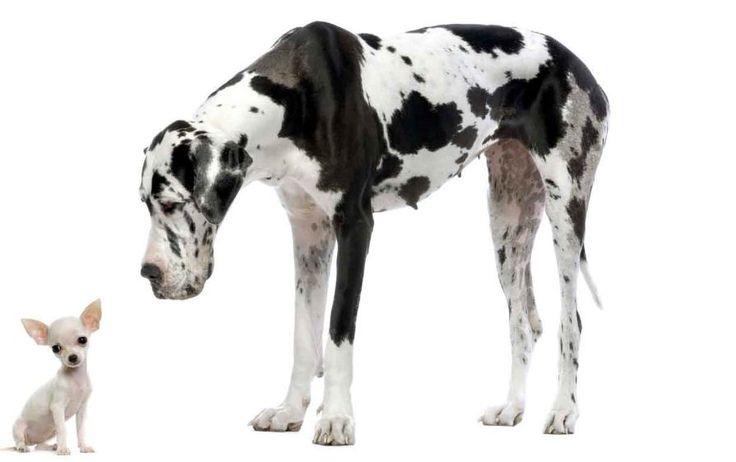 Perros Grandes en un piso, ¿Buena o mala idea? Léelo en http://animales-perdidos.com/blog/perros-grandes-en-un-piso/
