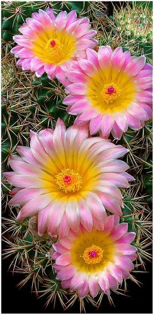 ✯ Pretty Pink Cactus Flowers by BunnyBeer