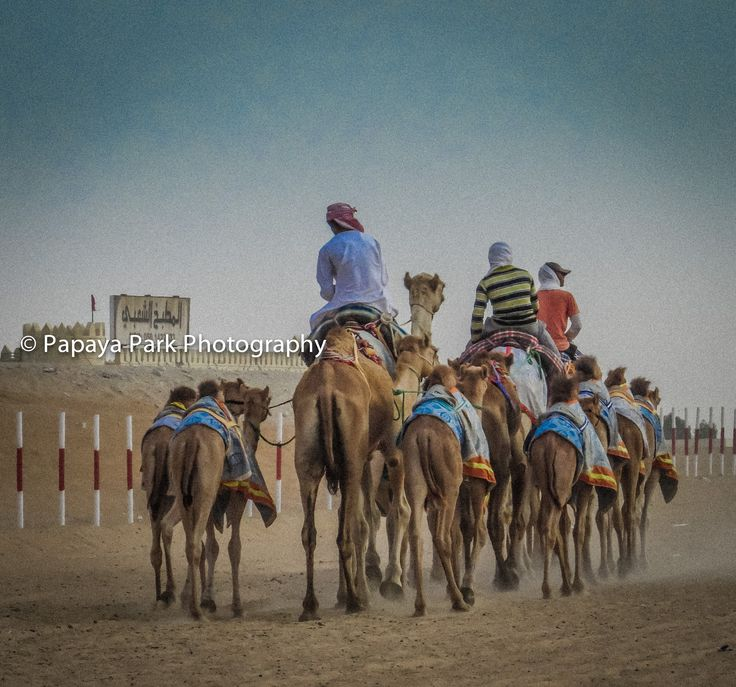A herd of camels near Madinat Zayed in the emirate of Abu Dhabi, United Arab Emirates.