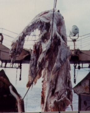 Carcass of a Basking Shark found by a fisherman near New Zealand in 1977, that was thought to be a Plesiosaur.