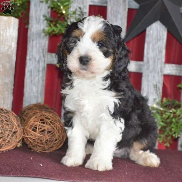 Snoopy Mini Bernedoodle Puppy For Sale In Ohio Bernedoodle