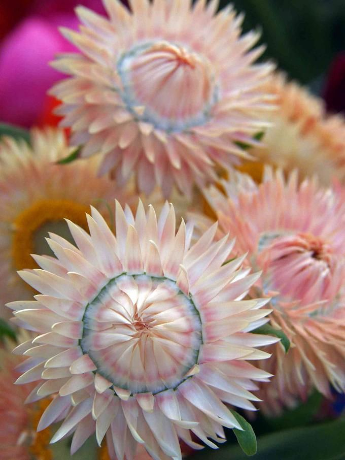 ✯ Strawflower These are great flowers - they close up at night and the centers open in the morning light. So pretty.